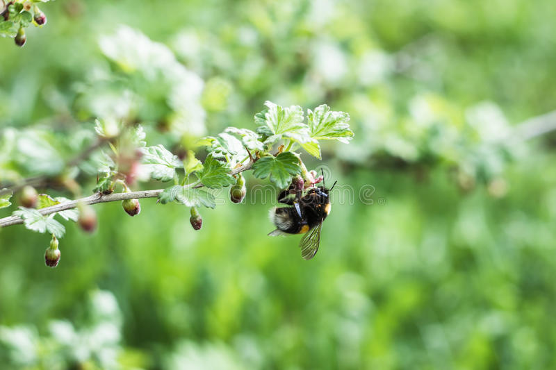 Bumblebee pollinates a gooseberry bush stock images
