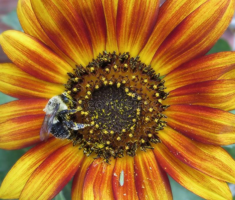 Bumblebee Pollinating Colorful Sunflower In A Garden royalty free stock images