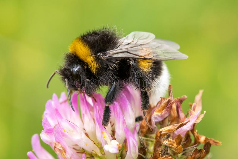 Bumblebee is pollinating pink clover stock photography