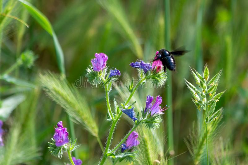 Bumblebee pollinating a flowers stock images