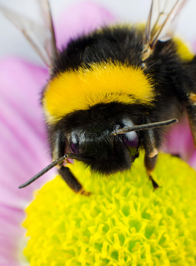 Bumblebee Pollination on Yellow Flower royalty free stock photos