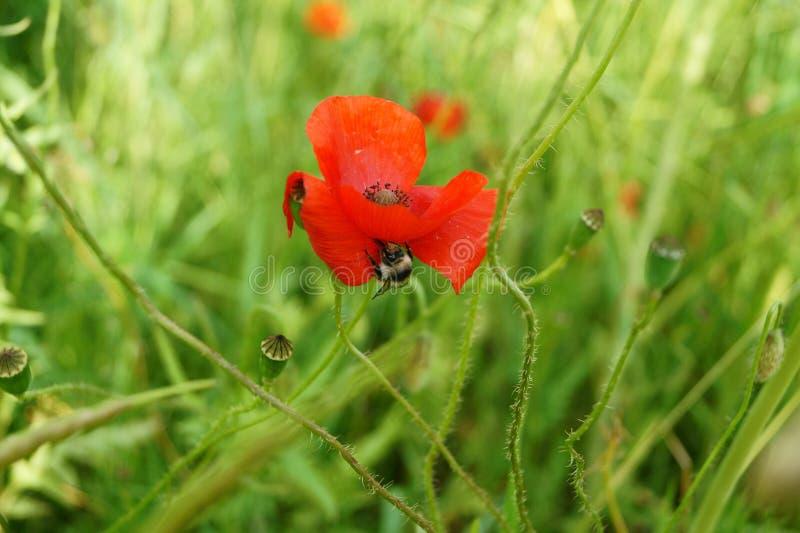 Bumblebee on poppy flower stock image