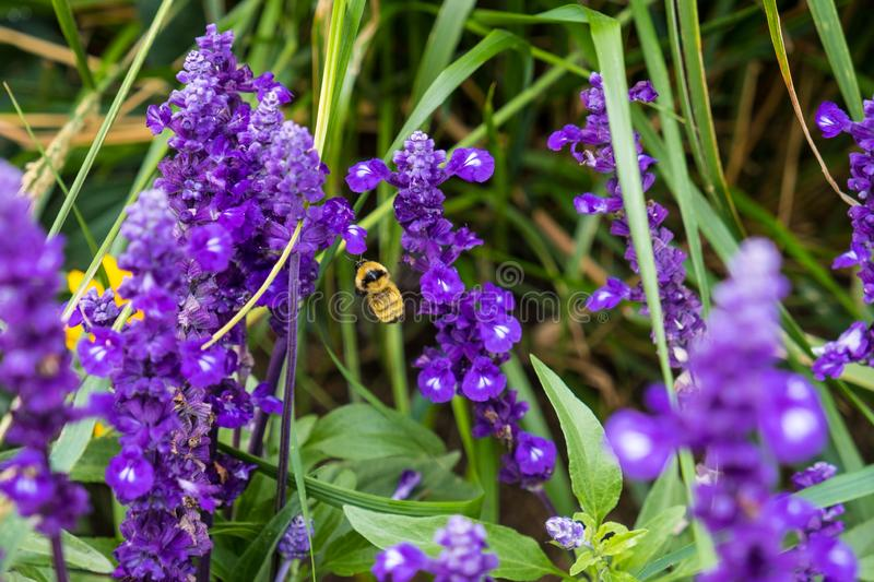 Bumblebee on purple flowers stock images