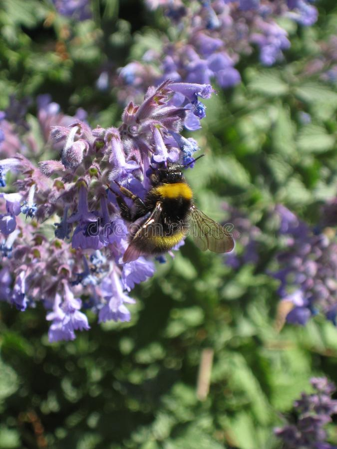 Bumblebee in purple flowers and sunlight 19 stock image