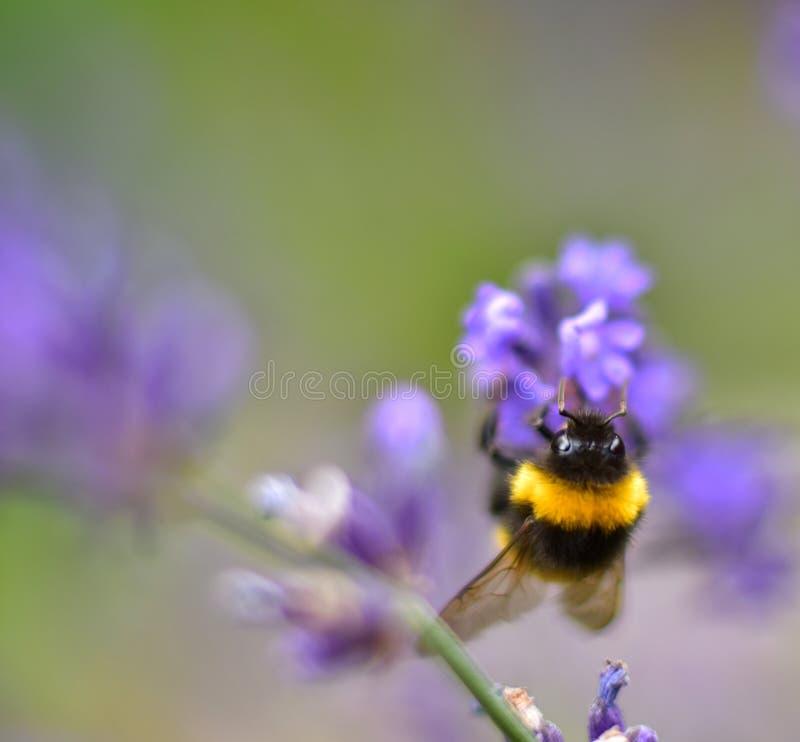 Bumblebee on the purple plant stock photo