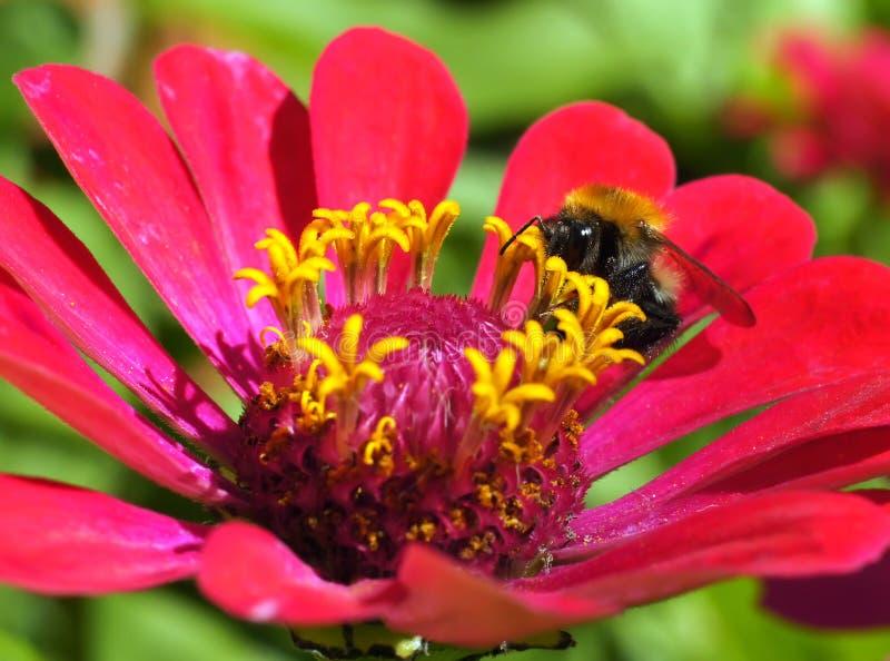 Download Bumblebee pyłek zbierania obraz stock. Obraz złożonej z płatek - 57671751