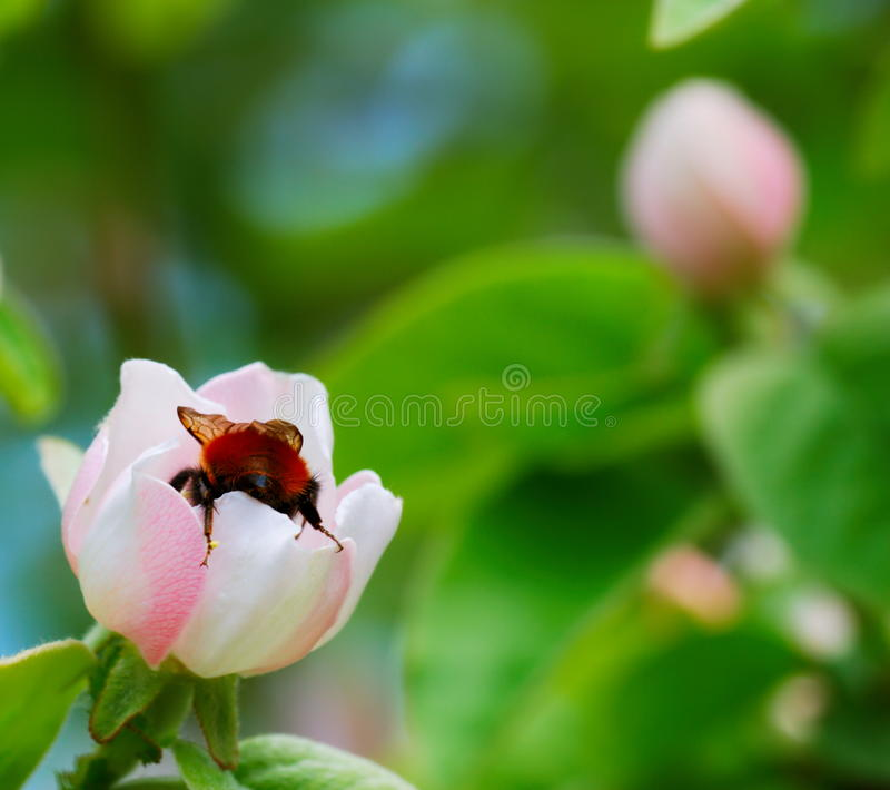 Download Bumblebee on quince flower stock photo. Image of flower - 17368648