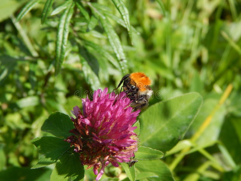 Bumblebee on red clover royalty free stock photos
