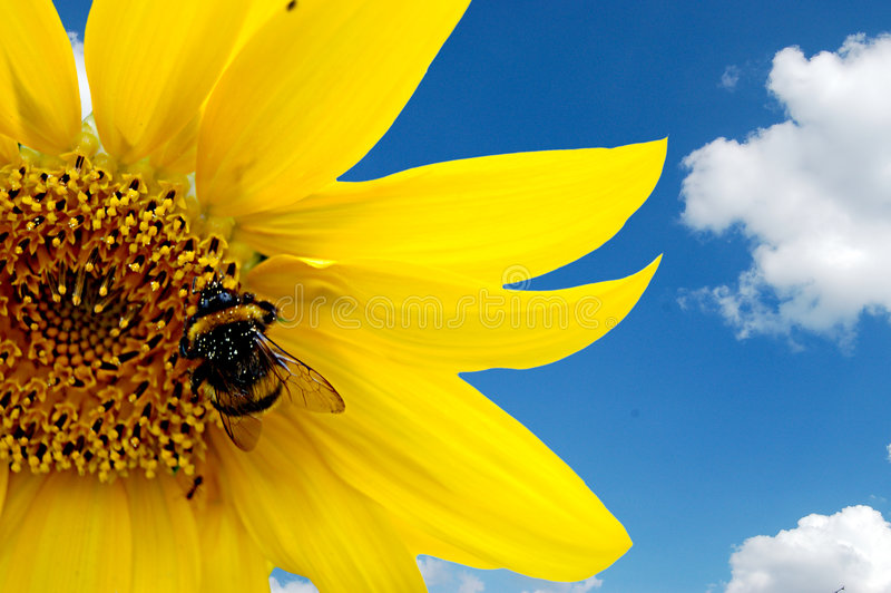 bumblebee słonecznik obrazy stock