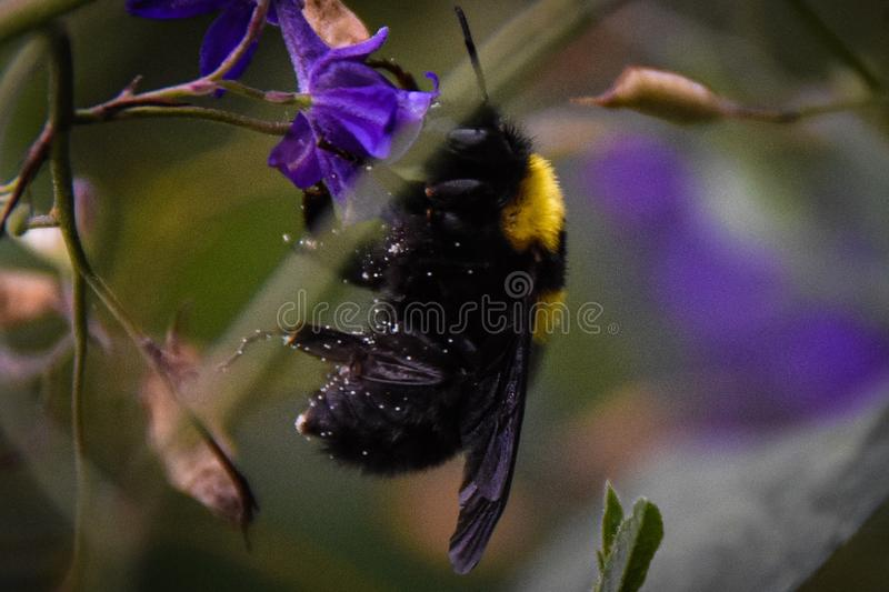 Bumblebee`s working day at the garden royalty free stock photo