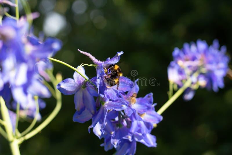 Bumblebee samlar in nektar i blå färger. Storen specificerar. Wildblommor blommar i trädgården arkivfoto