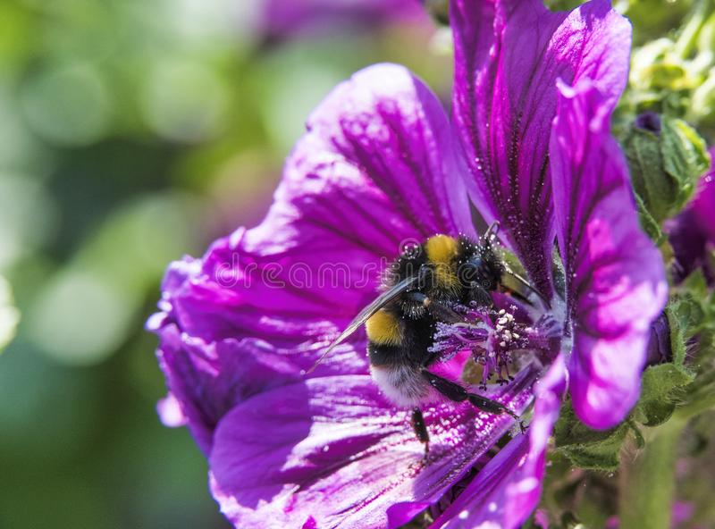 Bumblebee seeks honey in a flower in the garden. Bumblebee seeks honey in a purple flower in the garden royalty free stock photography