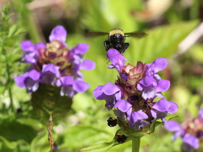 Bumblebee on Self-heal (Prunella vulgaris). Bumblebee approaching a Self-heal flower (Prunella vulgaris stock image