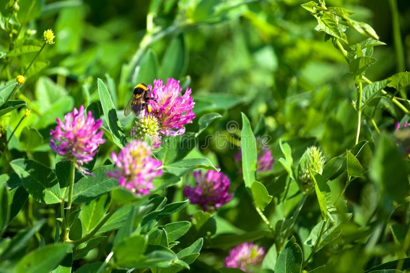 Bumblebee sit on pink clover flower on green grass background closeup, bumble bee pollinating blooming purple clover on sunny day royalty free stock image
