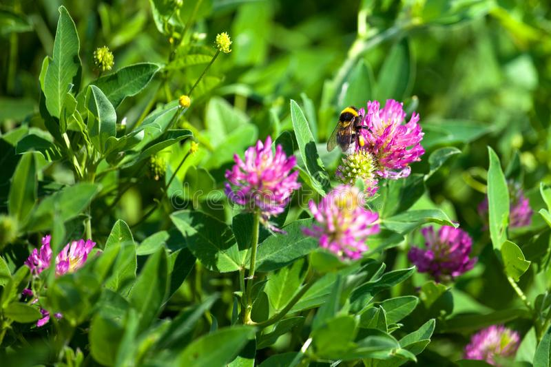 Bumblebee sits on pink clover flower on green grass background close up, bumble bee on blooming purple clover on sunny day macro stock image