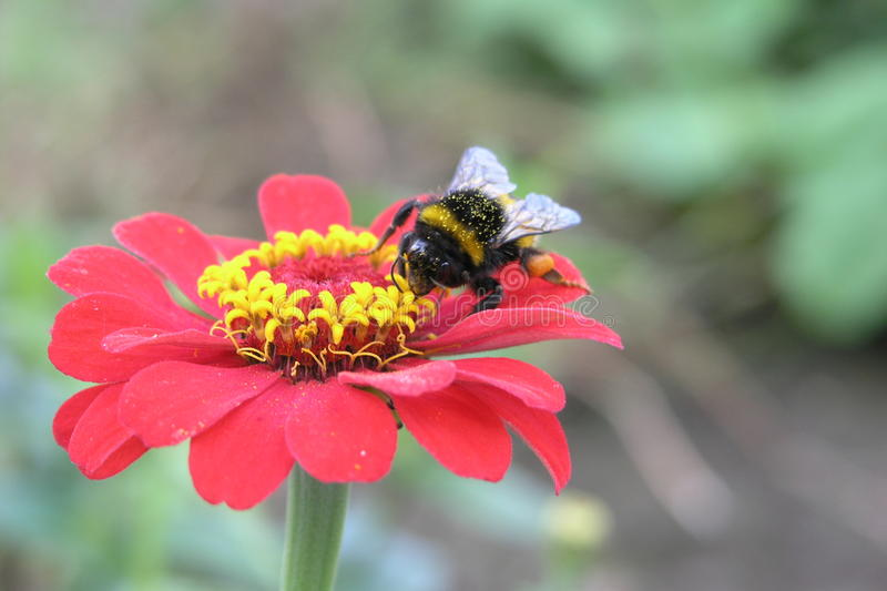 Bumblebee sits on the red flower gerbera royalty free stock image