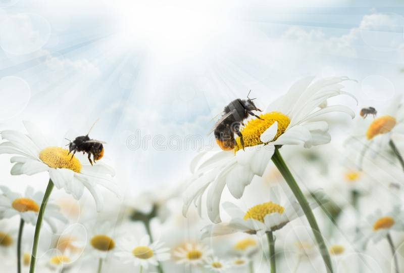 Bumblebee  sitting on camomiles. Macro photo. White flowers. Life of insects stock image
