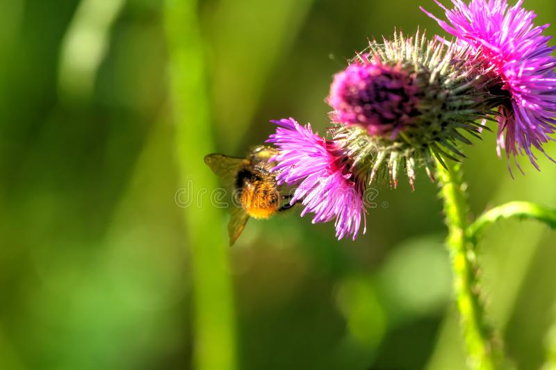 Bumblebee. Field flower. royalty free stock images