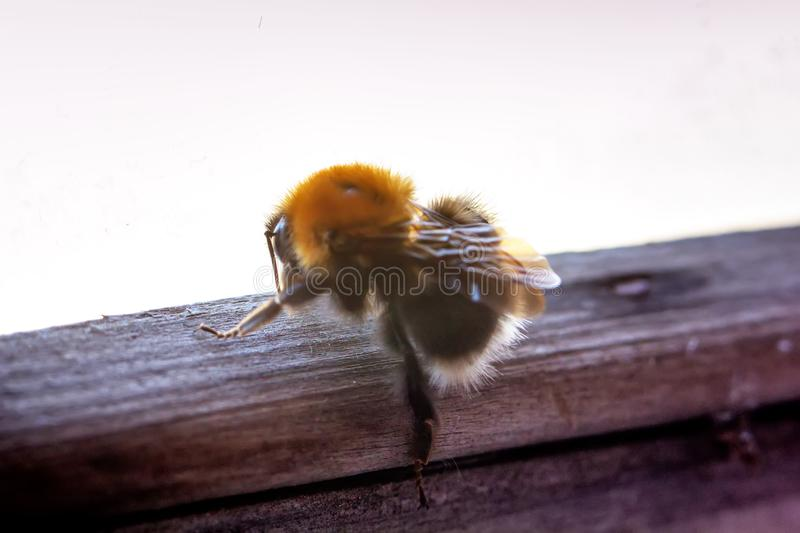 Bumblebee. A window with a wooden frame. royalty free stock photos