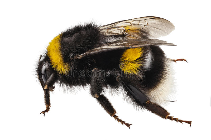 Bumblebee species Bombus terrestris. Common name buff-tailed bumblebee or large earth bumblebee in high definition with extreme focus and DOF (depth of field) stock photo