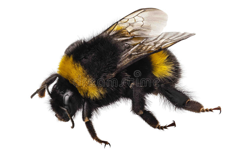 Bumblebee species Bombus terrestris. Common name buff-tailed bumblebee or large earth bumblebee in high definition with extreme focus and DOF (depth of field) royalty free stock image