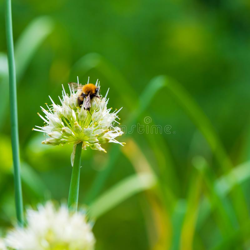 Bumblebee on Spring Onion. Red-tailed black bumblebee collecting pollen from onion flower royalty free stock photography