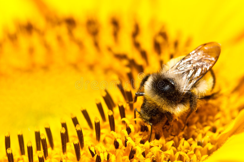 Download Bumblebee on sunflower stock photo. Image of brown, antenna - 7660550