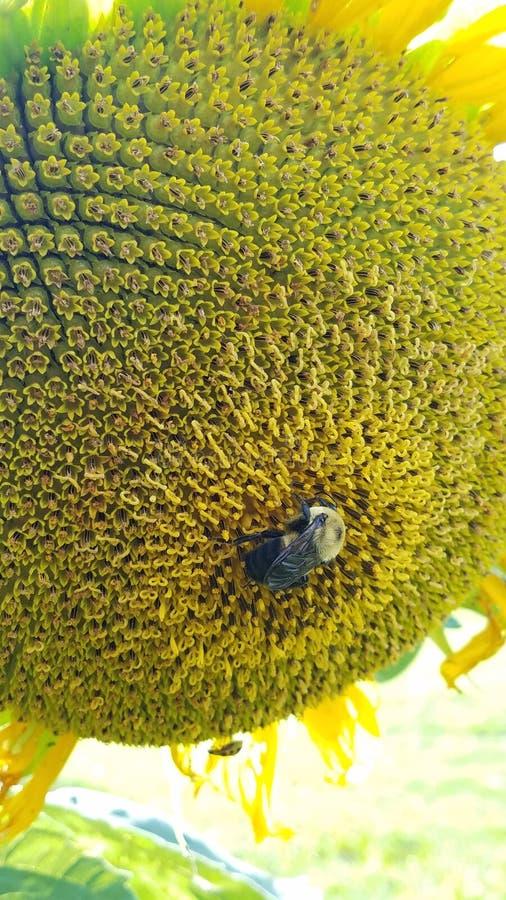 Bumblebee on a sunflower stock photo