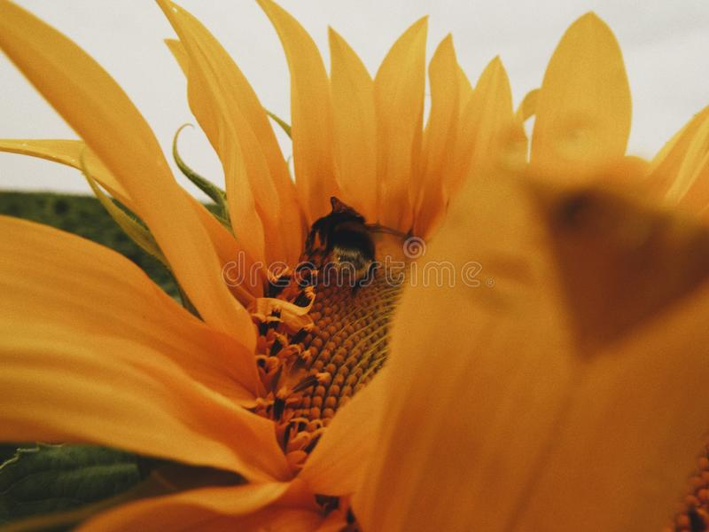 Bumblebee and sunflower. royalty free stock images