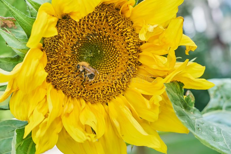 Bumblebee sunflower royalty free stock photo
