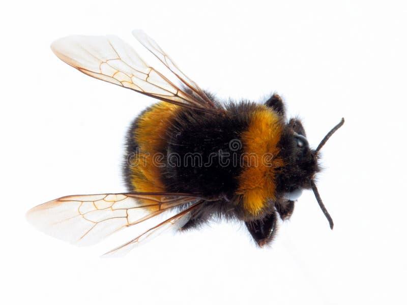 Bumblebee top view stock image