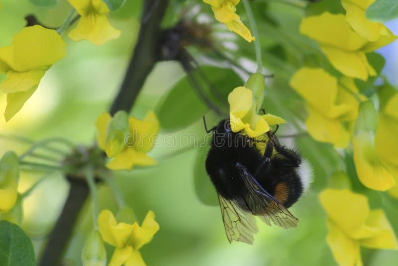 Bumblebee on a tree royalty free stock photos