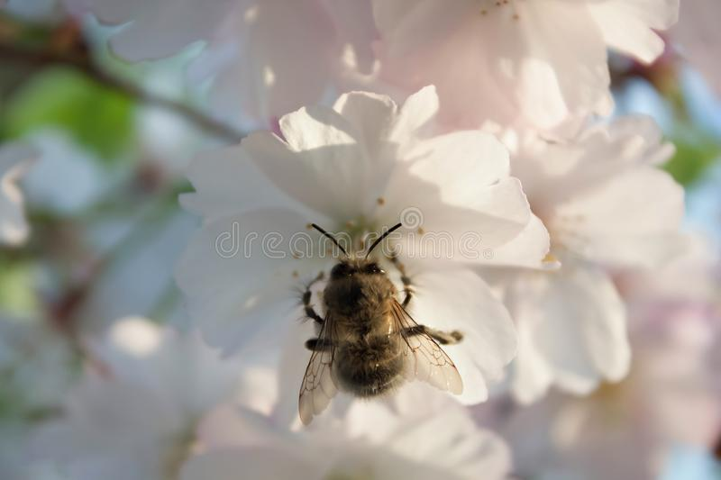 Bumblebee on a tree flower. Summer trees stock photo