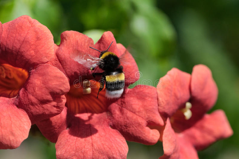 Bumblebee and Trumpet Creeper royalty free stock image