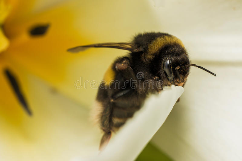 Bumblebee in tulip royalty free stock photo