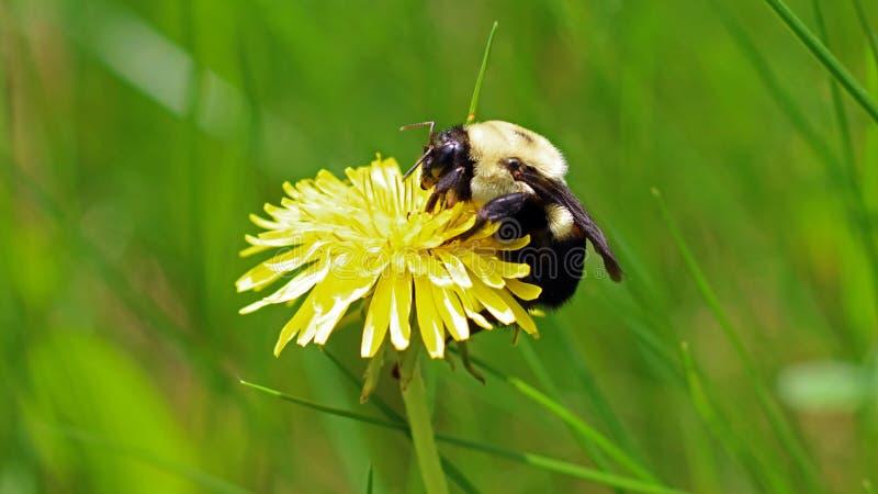 Bumblebee w dandelion, piękny unikalny żółty insekt na górze kwiatu zdjęcie stock