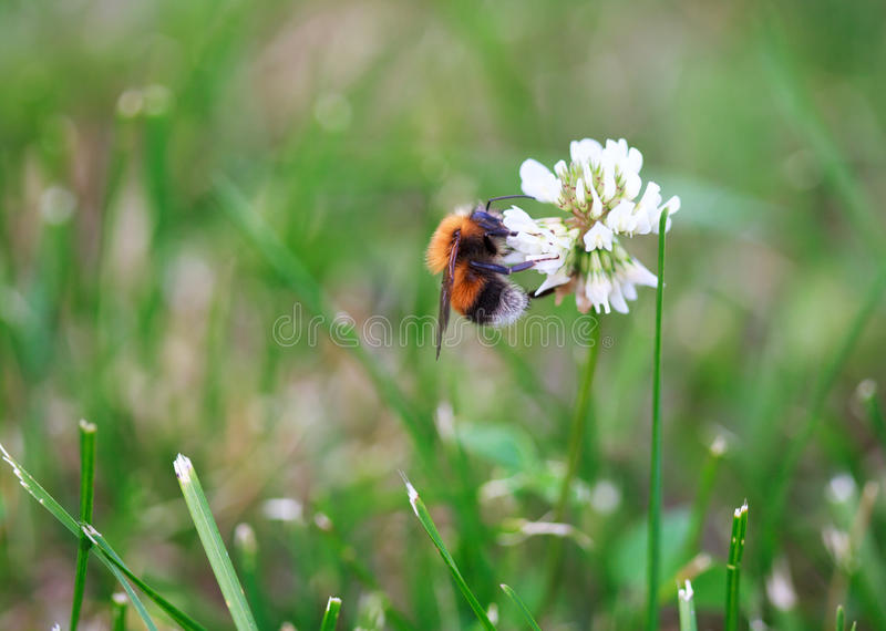 Bumblebee on the white clover trefoil flower. Close-up stock photos