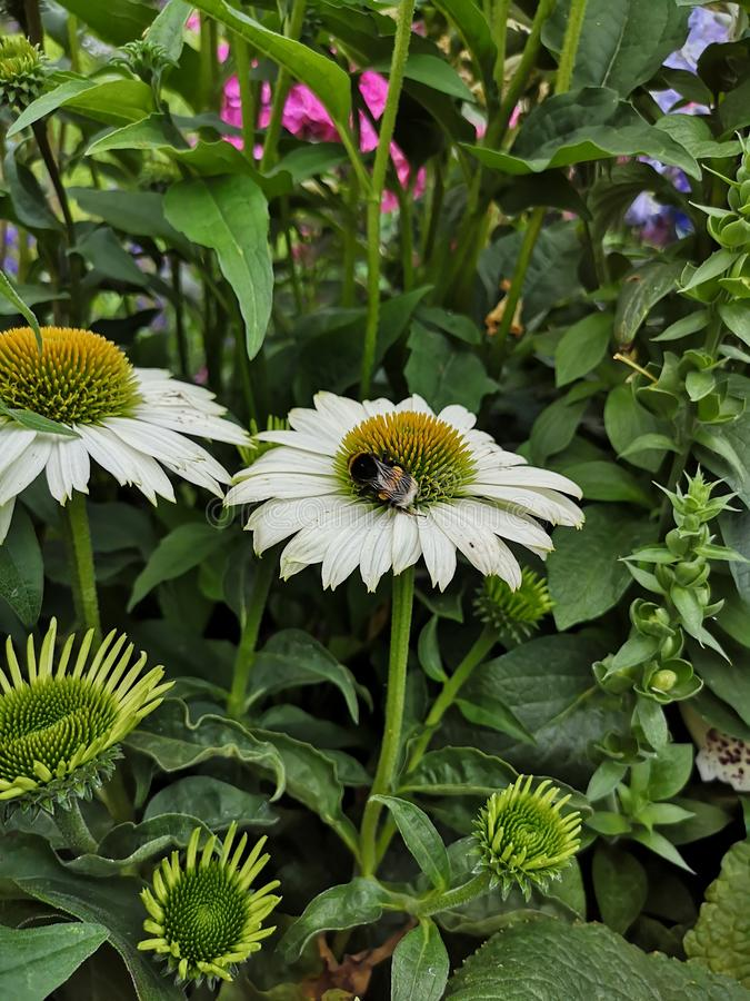 Bumblebee on white coneflower. White echinacea flower in garden. stock photo
