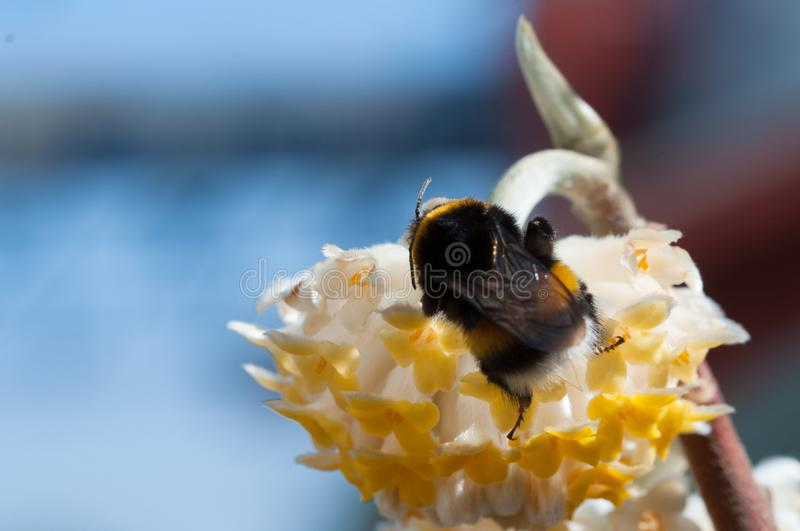 Bumblebee on a white flower. Bumblebee collecting nectar on whiteflower royalty free stock photo