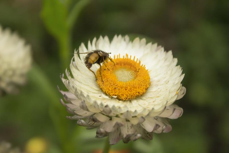 Bumblebee on white flower of white daisy similar to daisy on green background stock images