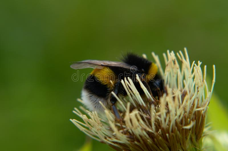 Bumblebee on a white flower stock image