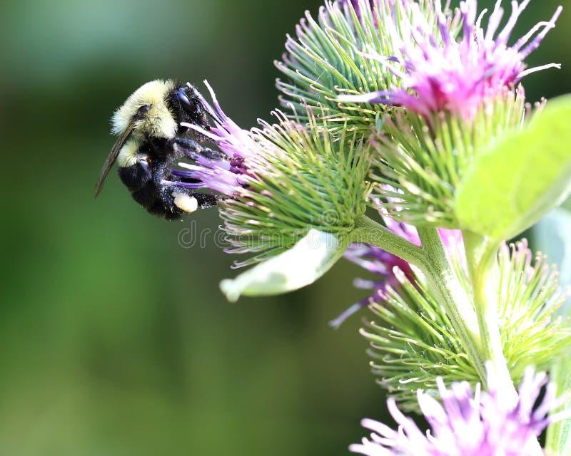 Bumblebee in wildflowers, burdock plant, bright sunlight royalty free stock photo
