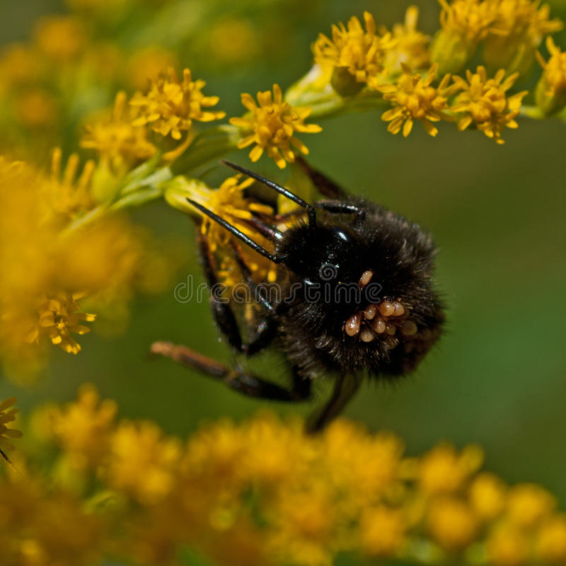 Free Bumblebee With Mites Stock Photography - 46003002