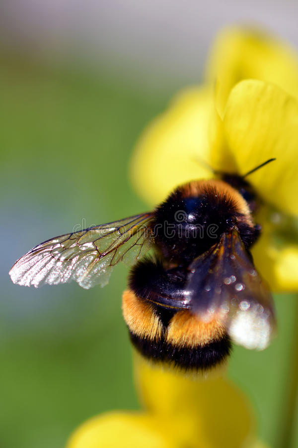 Bumblebee on yellow flower stock image