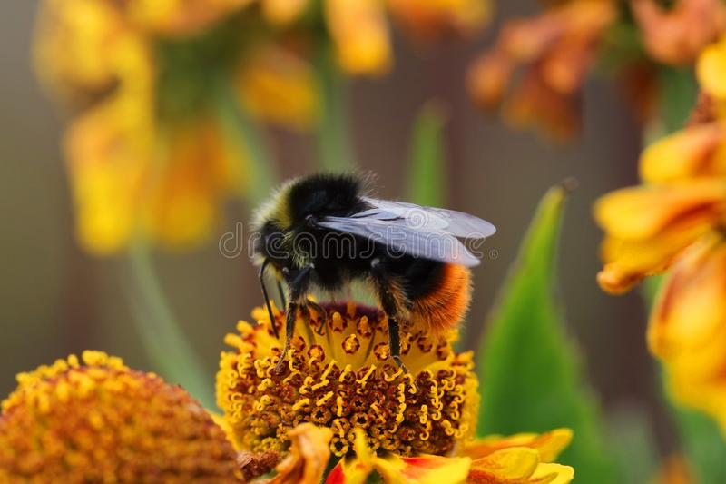 Bumblebee on a yellow flower close-up. Beautiful natural summer background. Bee pollinating flower gaillardia. Big black stock photography