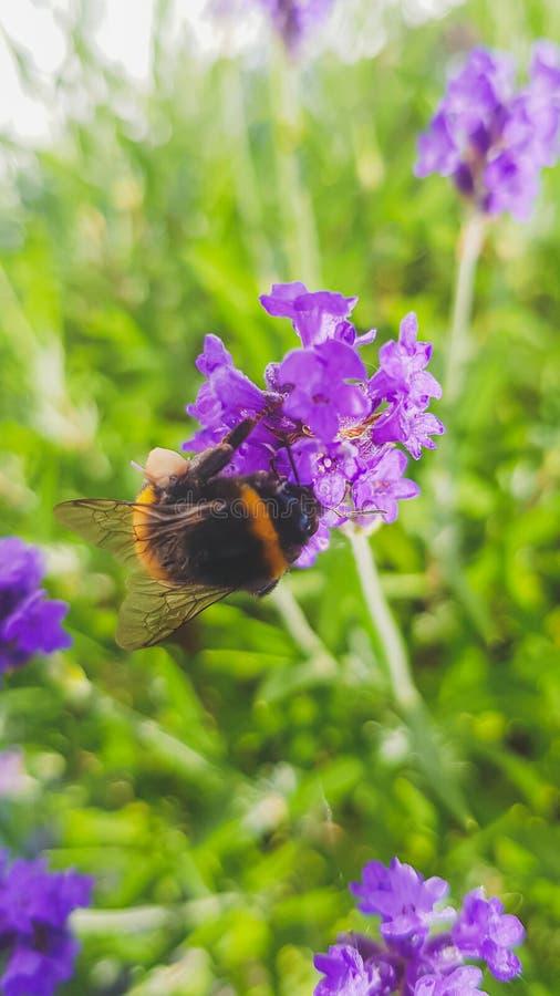 Bumblebee zamknięty w górę zbierackiego nektaru od lawendy obraz stock