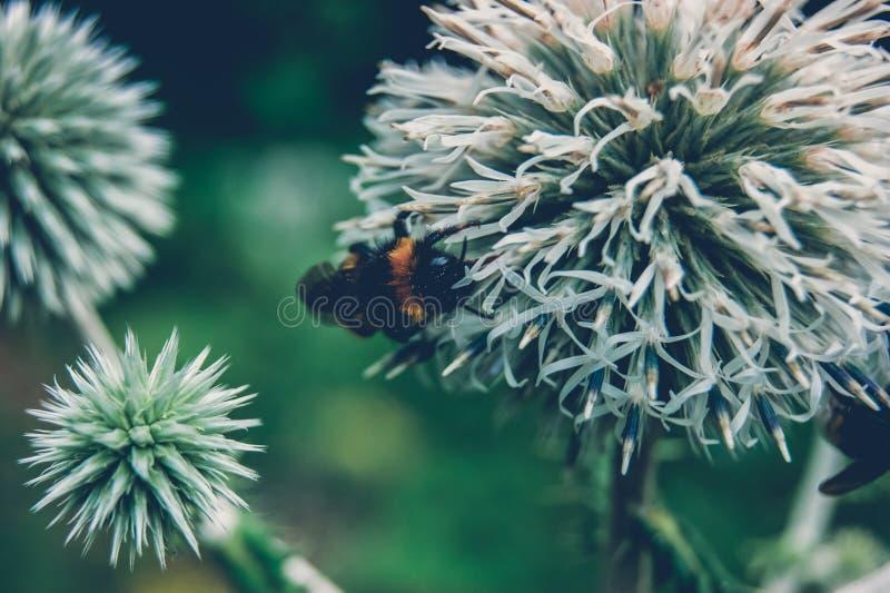 Bumblebee zapyla lasowych kręgosłupy fotografia royalty free