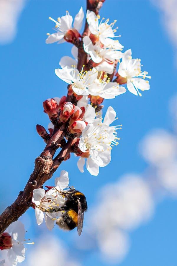 Bumblebee zapyla na morelowym blosson zdjęcie royalty free
