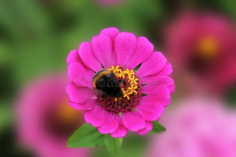 Bumblebee zbiera nektar na kwiacie tsinii pełen wdzięku Kwiat tsinii pełen wdzięku na odosobnionym zielonym tle zdjęcia stock