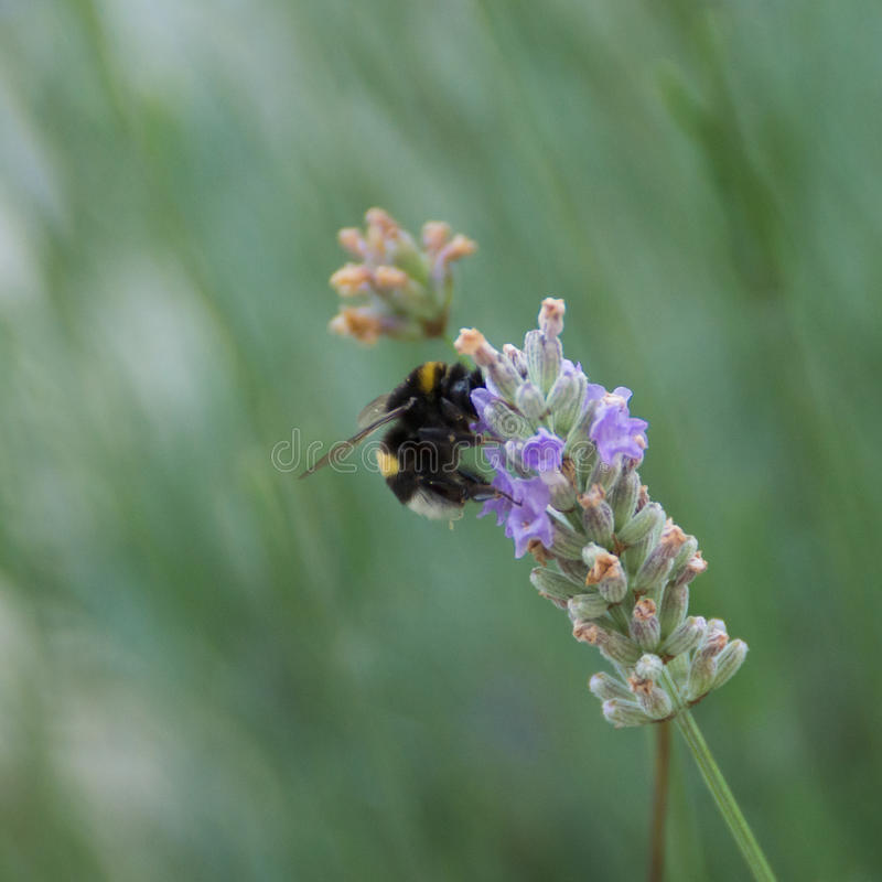 Bumblebee zbiera nektar na lawendzie obrazy stock